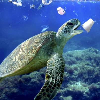 Pic by Paulo Di Oliviera/ARDEA/Caters News - (Pictured: Sea turtle eating a detergent styrofoam cup. Plastic bags and a lot of other plastic garbage drift through oceans driven by wind and ocean currents.) -Shocking images of animals being strangled by discarded nets and gorging on plastic rubbish have been released as a stark warning of the damage caused by human waste.A crab eating a cotton bud, a baby seal choking on a fishing net and a turtle munching on a polystyrene cup all feature in the series of composite pictures created by Paulo de Oliveira. Other images show a whale gorging on plastic bags and a fish eating the remnants of a coffee cup while swimming through a sea of garbage.The 64-year-old from Portugal combined several images to create each disturbing composite picture.The former advertising executive turned professional diver and photographer has created the series as a stark warning of the damage being done to our oceans.SEE CATERS COPY.